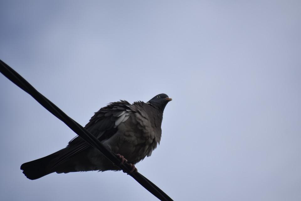 Dove, Bird, Nature, Beak