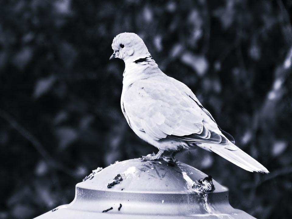 Dove, Bird, Nature, Nature Dove, Freedom
