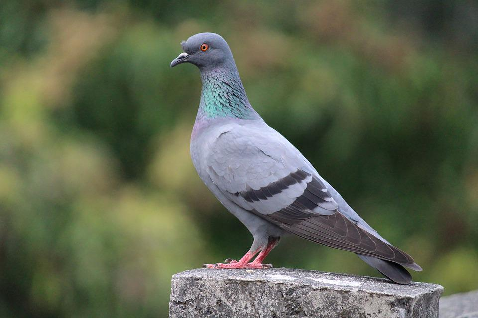 Pigeon, Bird, Nature, Fly, Dove, Fauna