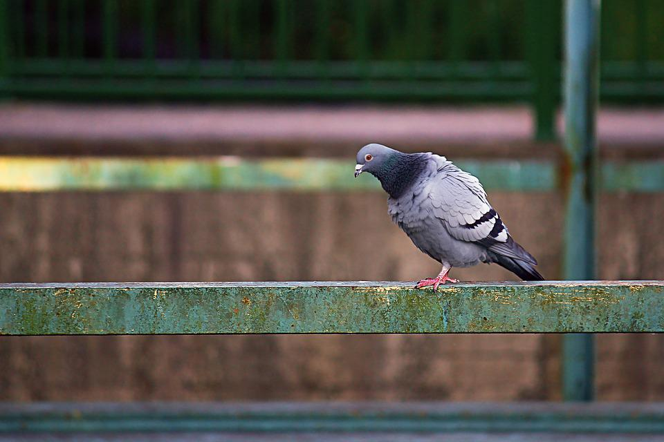 Dove, Industry, City Pigeon, Port