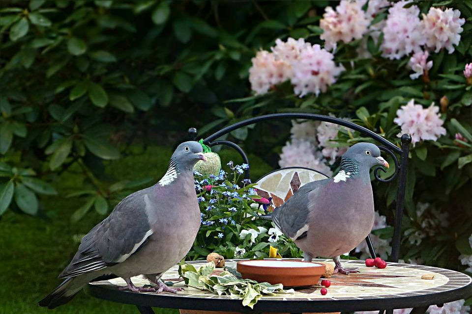 Dove, Ringdove, Bird, Columba Palumbus, Couple