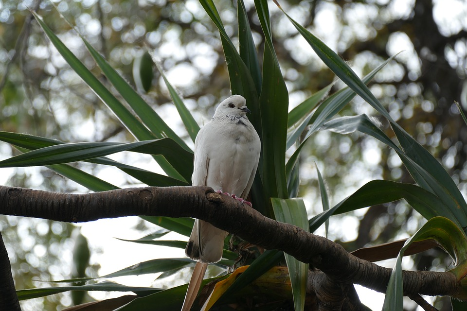 Dove, Palm, White