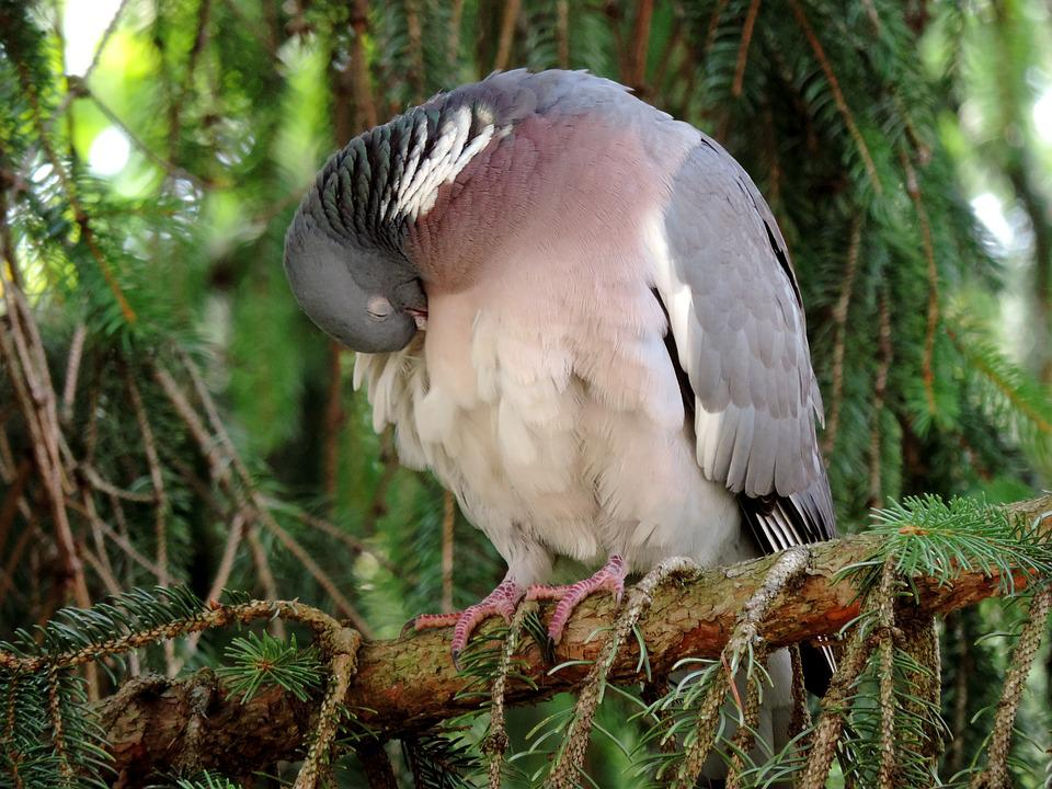 Dove, Ringdove, Bird, Doves And Pigeons, Sleeping