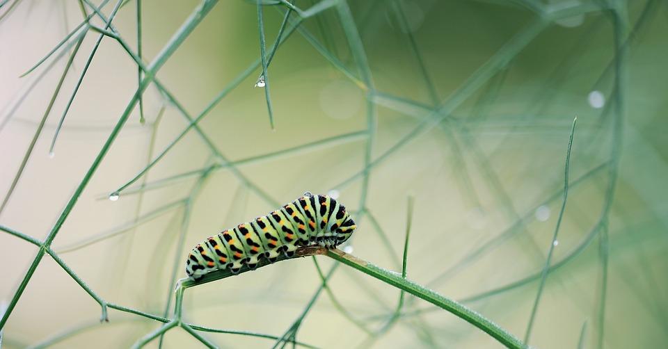 Caterpillar, Dovetail, Macro, Close Up, Nature, Garden