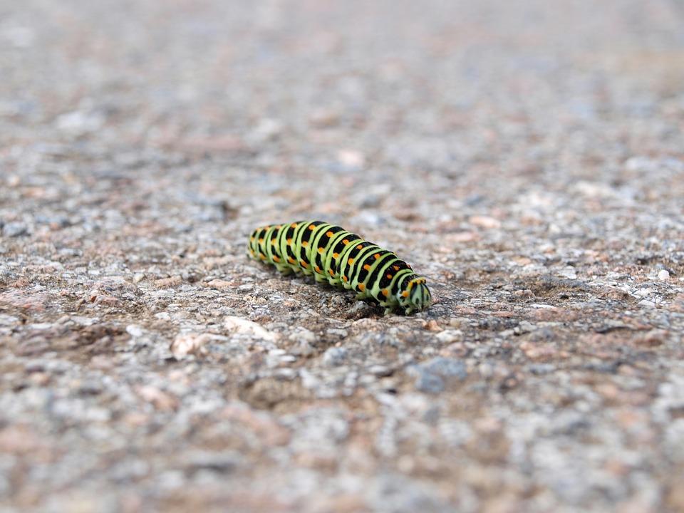 Caterpillar, Nature, Macro, Dovetail, Papilio Machaon