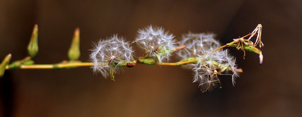 Dandelion, Down, Plant, Nature