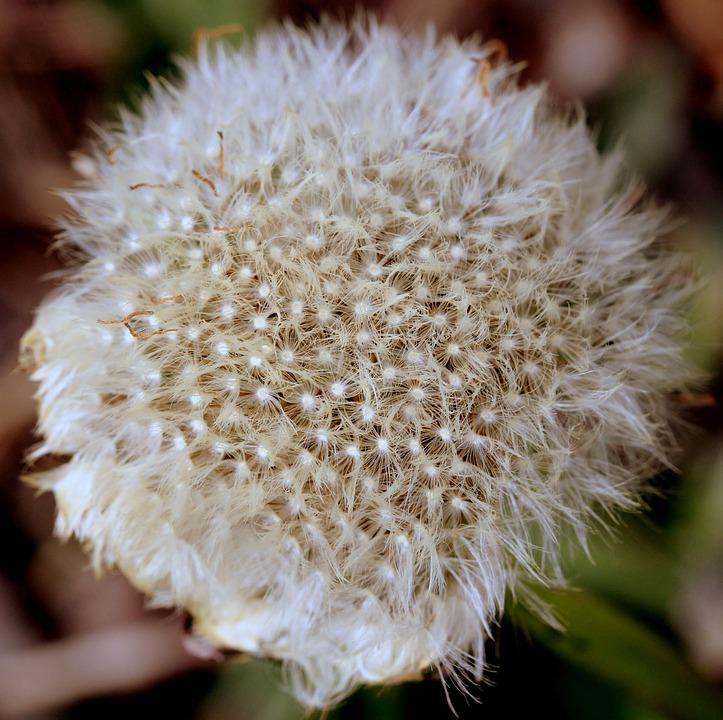 Dandelion, Down, White, Plant, Flower