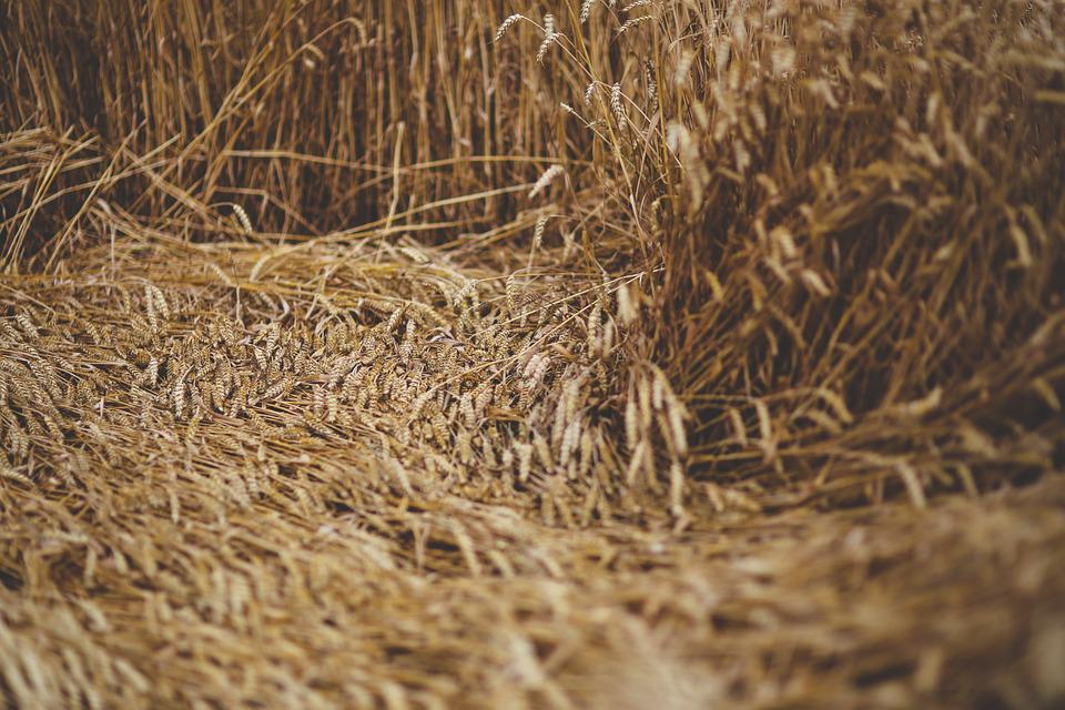 Grain, Wind, Downed, Nature, Yellow