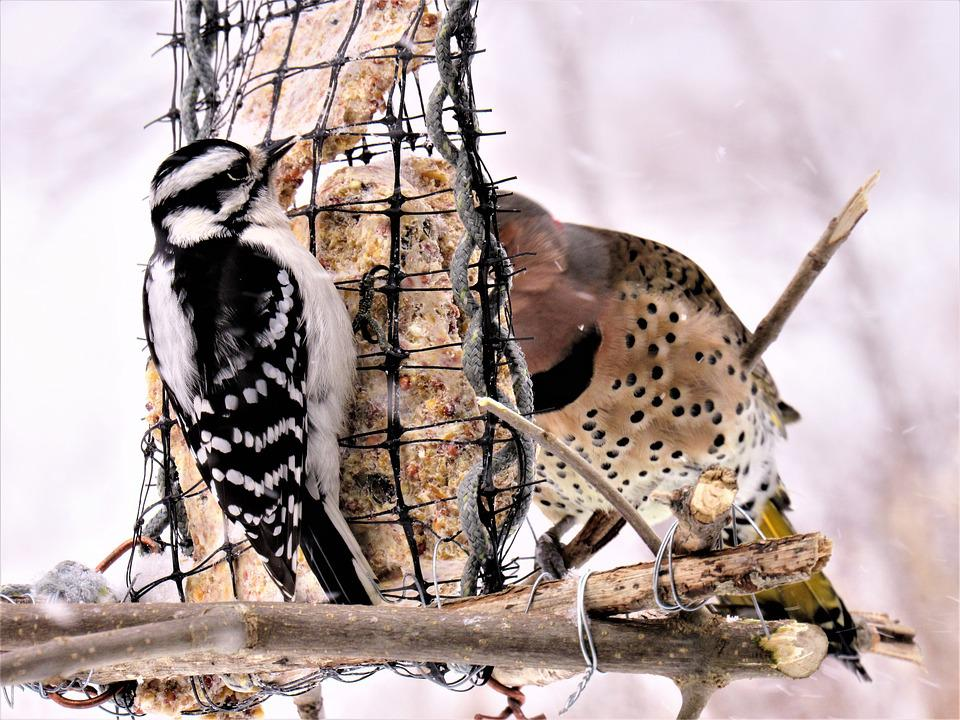 Woodpeckers, Flicker Woodpecker, Downy Woodpecker