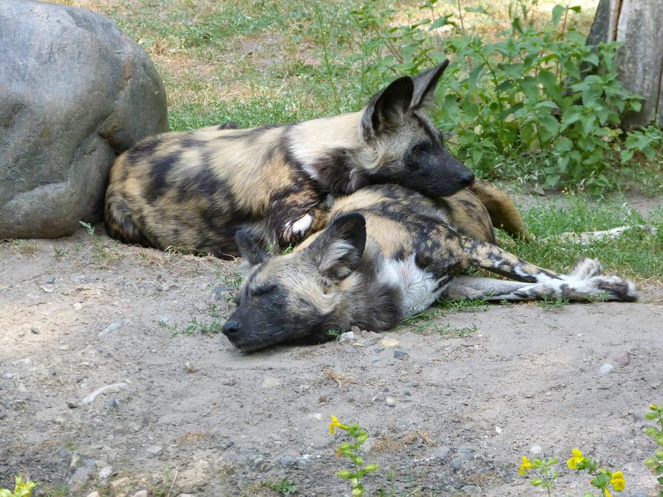 Zoo, Hyena, Animals, Lying, Dozing, Mystical