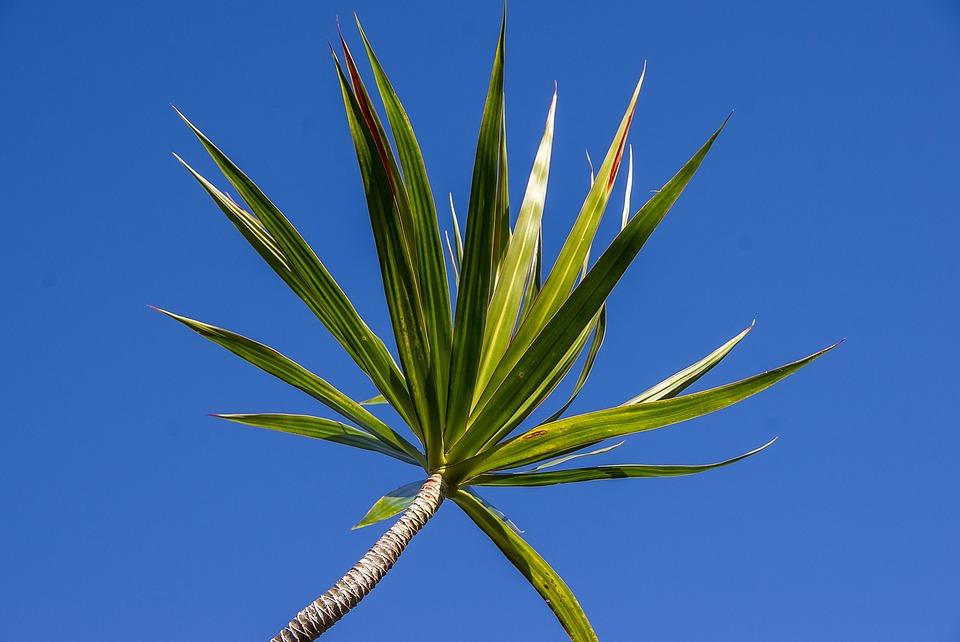Dracaena, Foliage, Green, Leaves, Garden, Blue Sky