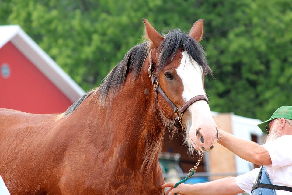 Clydesdale, Draft, Horse, Mare, Animal, Bay, Equine