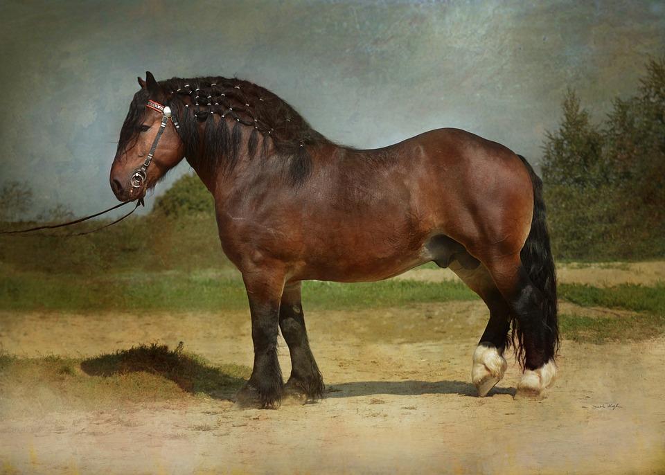 Horse, Equine, Draft, Draft Horse, Stallion