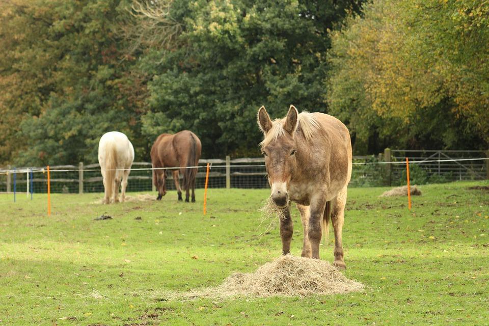 Mule, Horse, Pony, Draft, Comtois, Big, Grazing