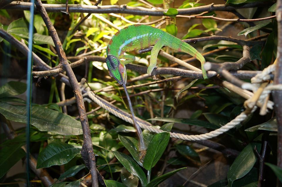Chameleon, Patnherchamaeleon, Dragon, Animal, Green