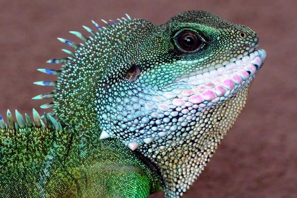 Dragon, Chinese Water Dragon, Nature, Lizard, Wildlife