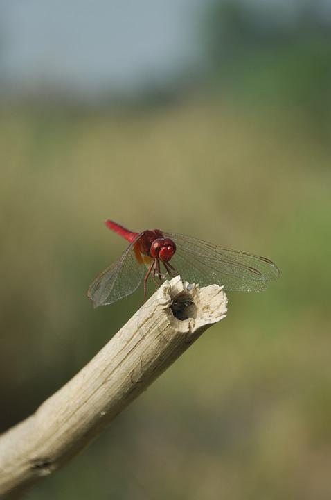 Dragon Fly, Nature, Incects