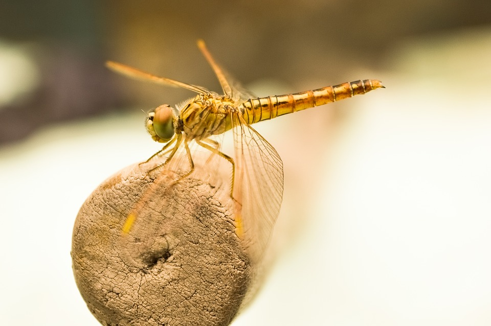 Dragon Fly, Insect, Fly, Golden, Bug, Macro, Dragon-fly
