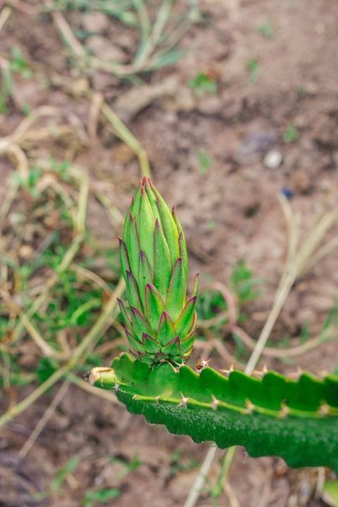Thorns, Dragon Fruit, Fruit, Baby, Harvest, Nature