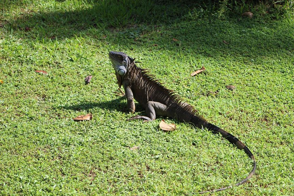 Iguana, Costa Rica, Reptile, Central America, Dragon