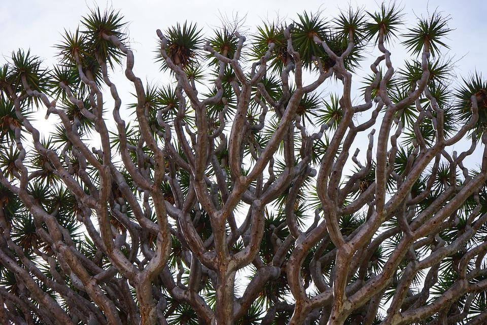 Dragon Tree, Branches, Shoots, Excesses