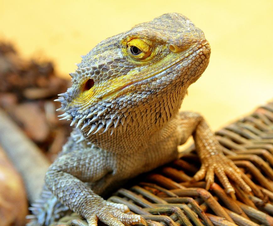 Bearded Dragon, Dragon, Reptile, Lizard, Wild, Animal