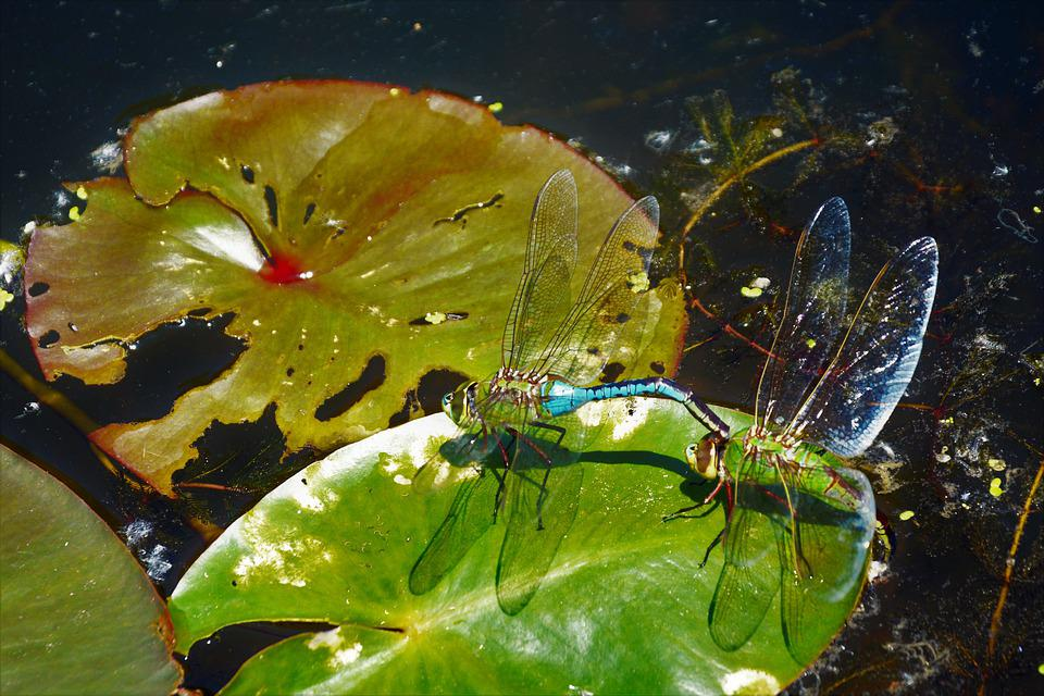 Dragonflies, Mating, Large, Closeup, Colorful, Delicate