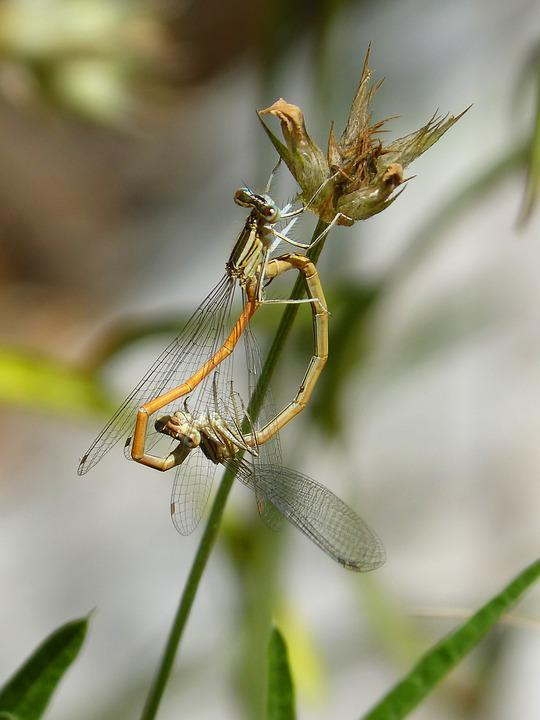 Dragonflies, Reproduction, Copulation, Mating