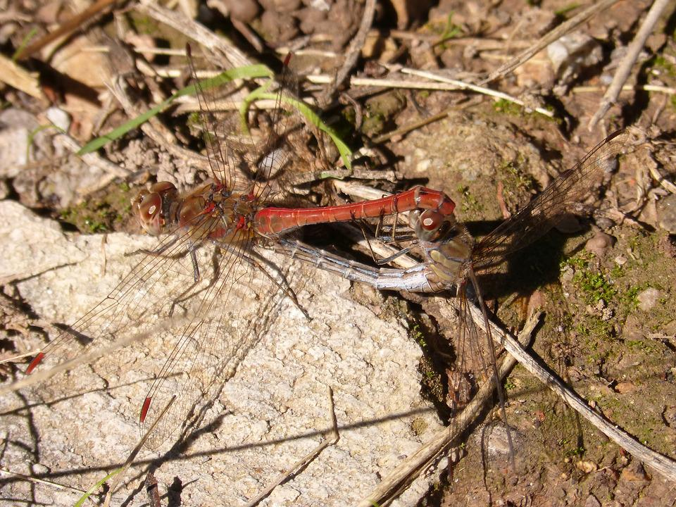 Dragonflies, Reproduction, Insect Intercourse, Couple