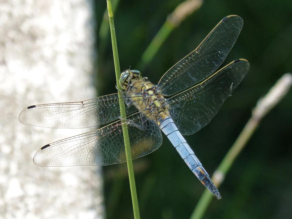 Dragonfly, Leaf, Wetland, Blue Dragonfly