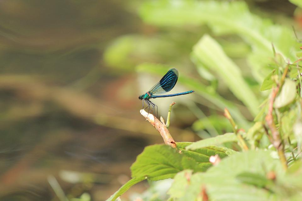 Insect, Dragonfly, Blue Dragonfly, Branch, Green, Water
