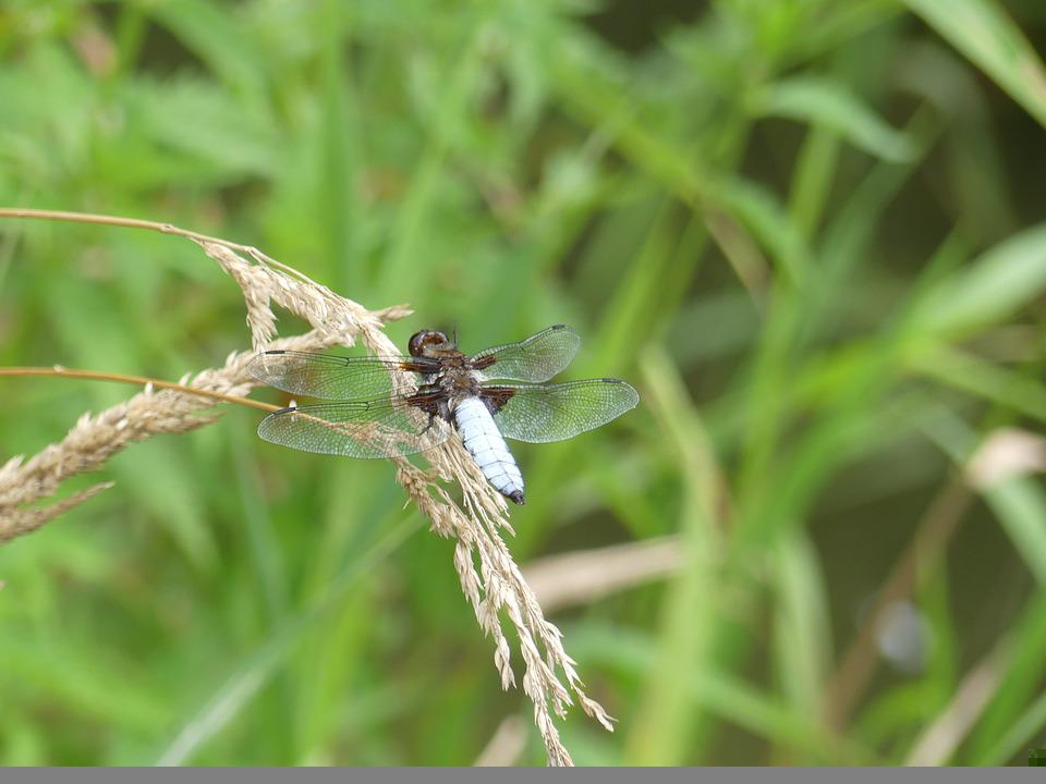 Broad Bodied Chaser, Dragonfly, Grass