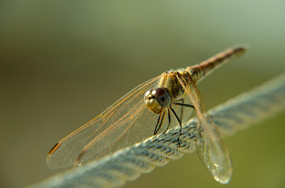 Dragonfly, Bug, Insect