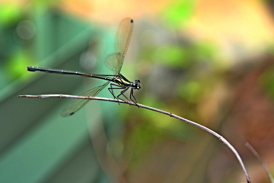 Insect, Bug, Dragonfly