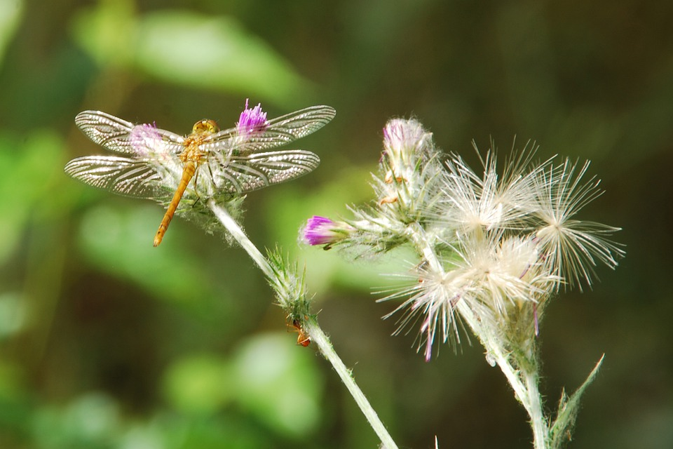 Dragonfly, Close, Insect, Thistle, Nature
