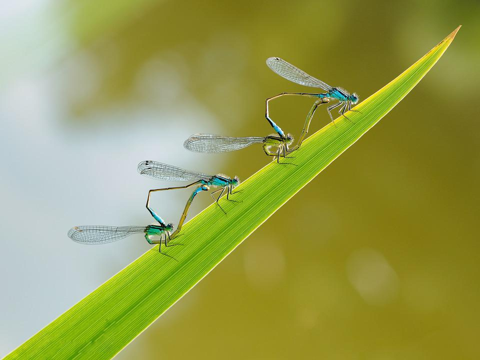Insect, Dragonfly, Couple, Macro