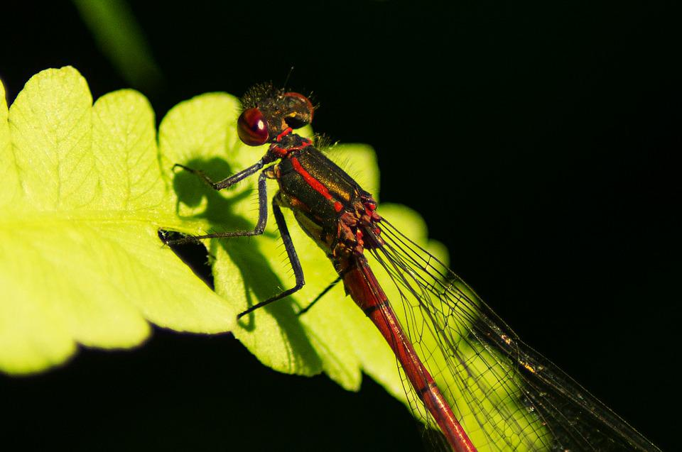 Early Adonis Dragonfly, Dragonfly, Males, Flight Insect
