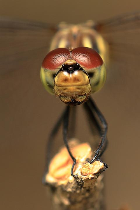 Dragonfly, Dragonfly Eyes, Insects, Red Dragonfly
