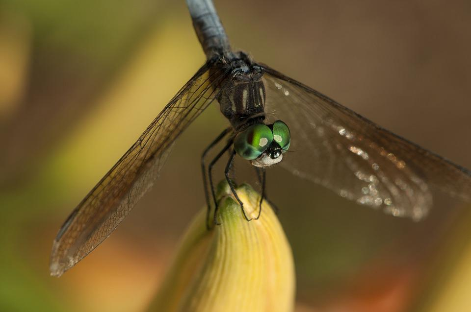 Dragonfly, Insect, Green