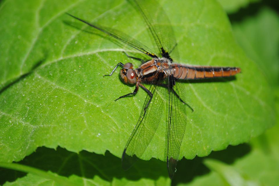 Dragonfly, Bug, Leaf, Insect, Nature, Wildlife, Green