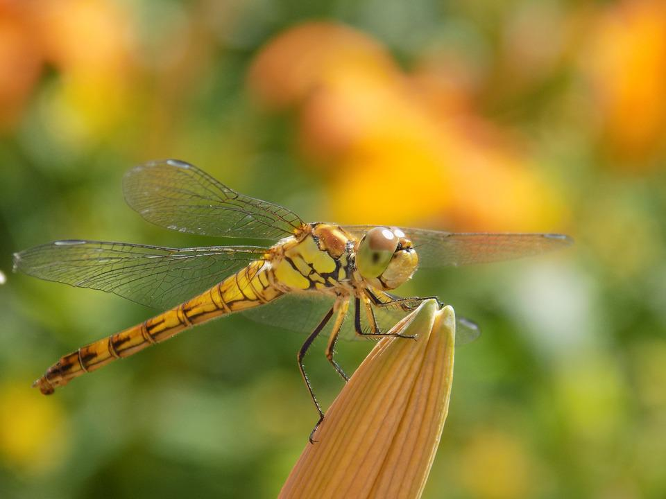 Dragonfly, Nature, Insect, Close