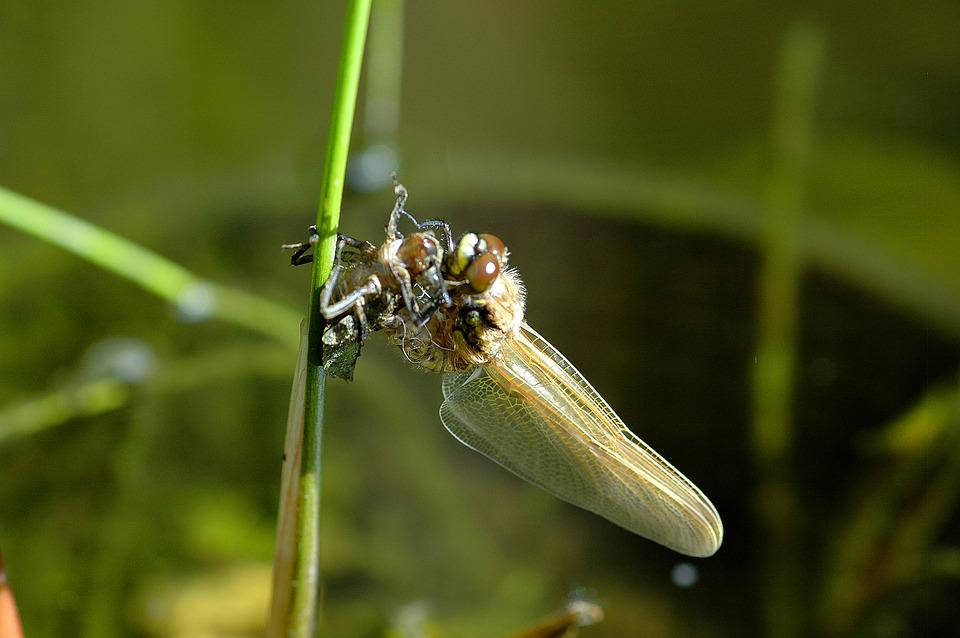 Free photo Dragonfly Insect Hatching Garden Pond - Max Pixel