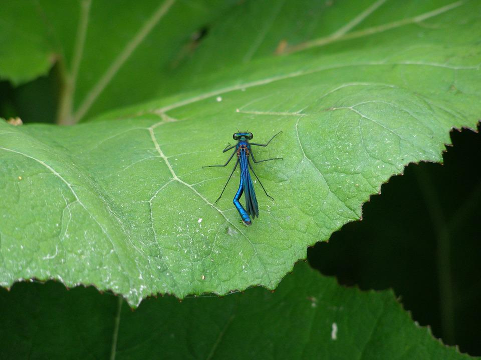 Dragonfly, Insect, Macro, Insect Macro, Blue