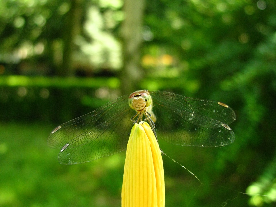 Dragonfly, Insects, Insect, Macro, Nature, Garden