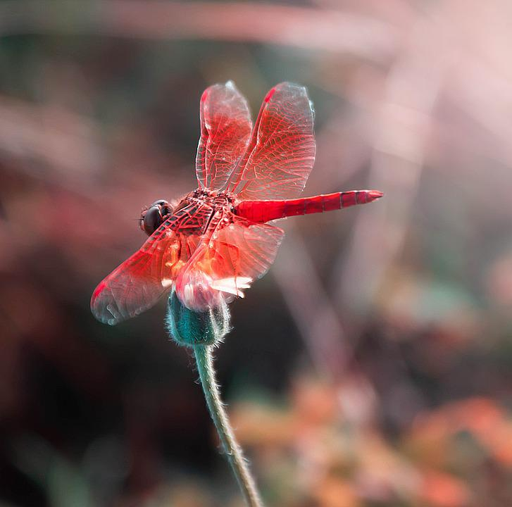 Dragonfly, Wings, Red, Insects, Flowers, Colorful