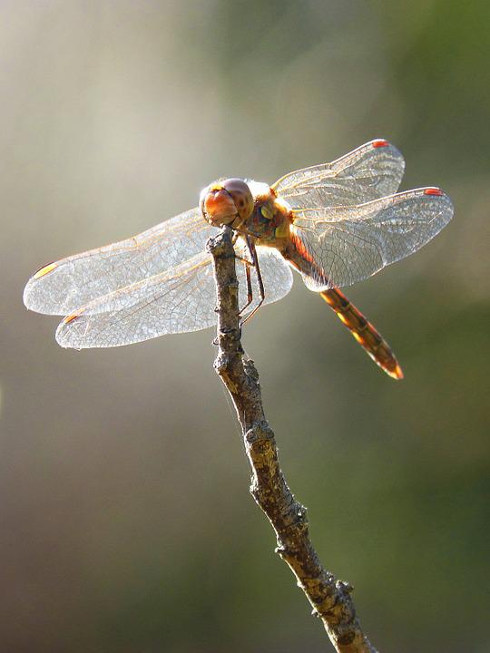 Dragonfly, Wings, Backlight, Insect, Libellulidae