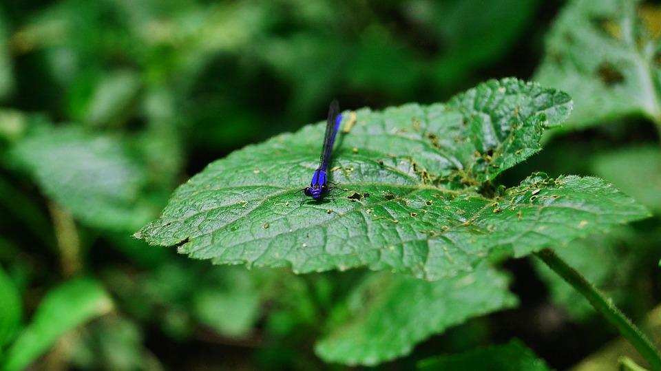 Dragonfly, Leaves, Green, Nature, Blue Dragonfly