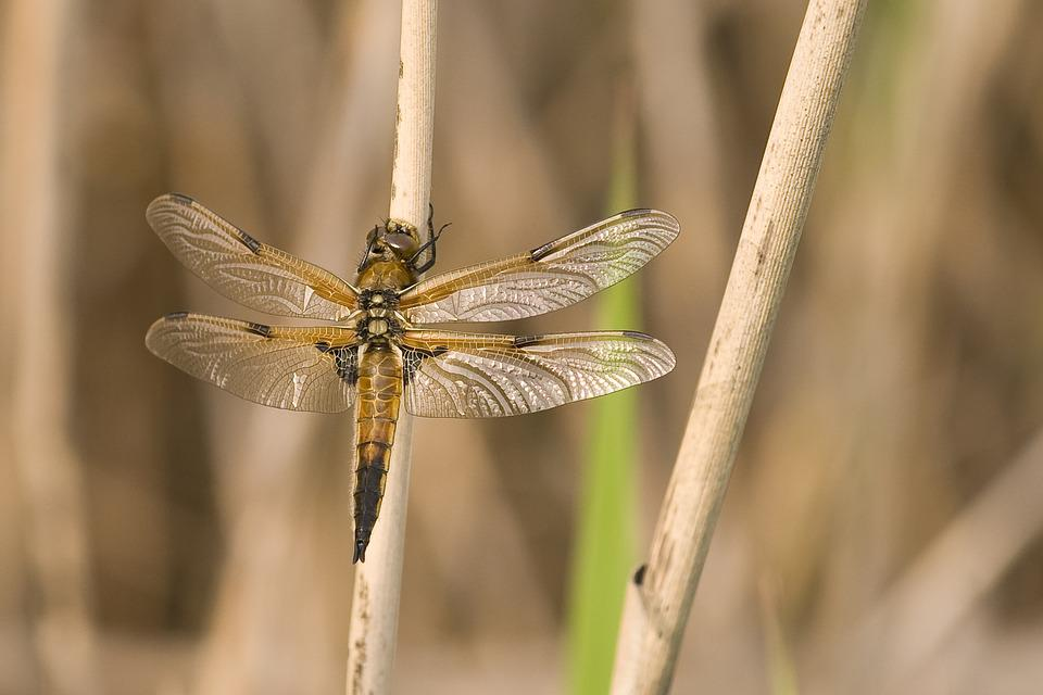 Dragonfly, Animals, Nature, Close, Wildlife Photography