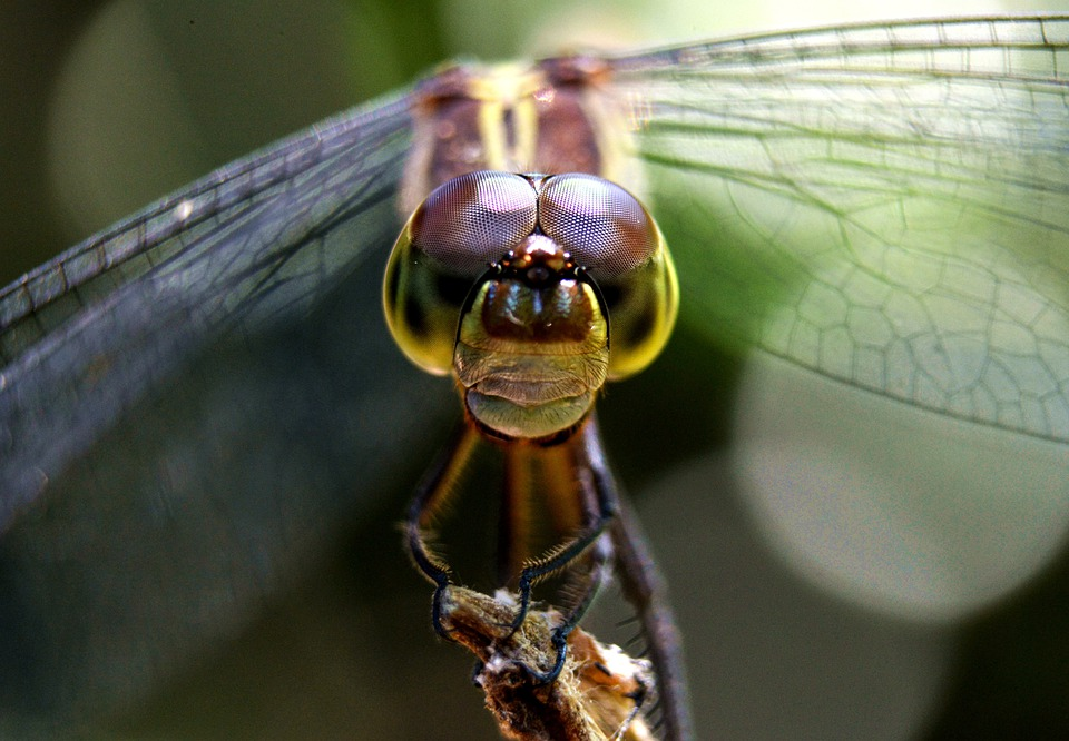 Dragonfly, Nature, Insect, Wing