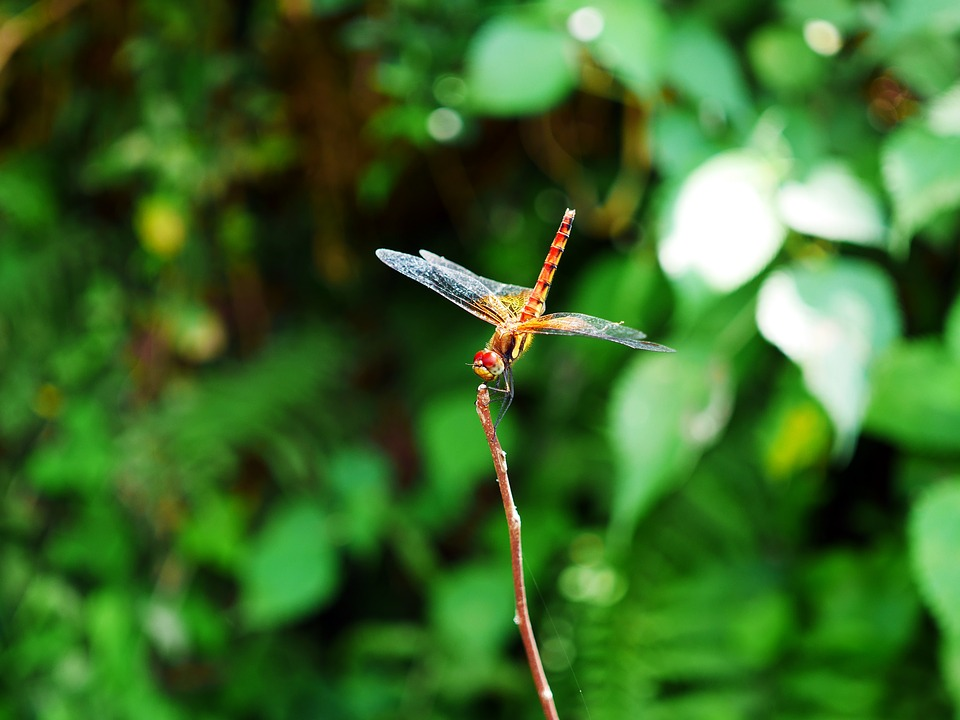 Dragonfly, Red Dragonfly, Nekitonbo, Mountain, Summer